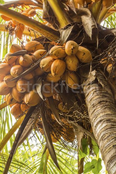 Noix de coco orange croissant cocotier arbre photo stock leigh anne meeks - Arbre noix de coco ...