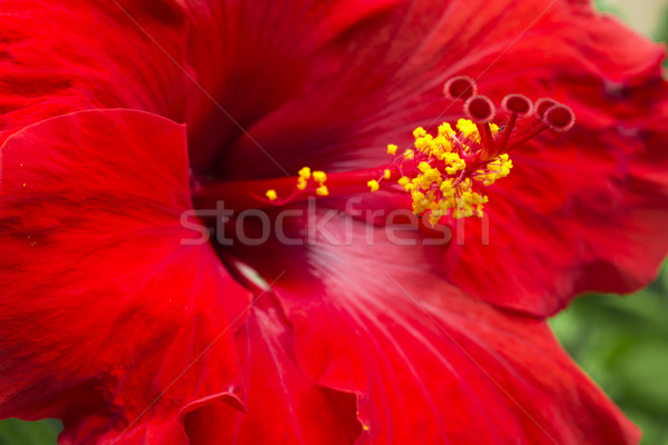 Large Red Hibiscus Stock photo © LAMeeks