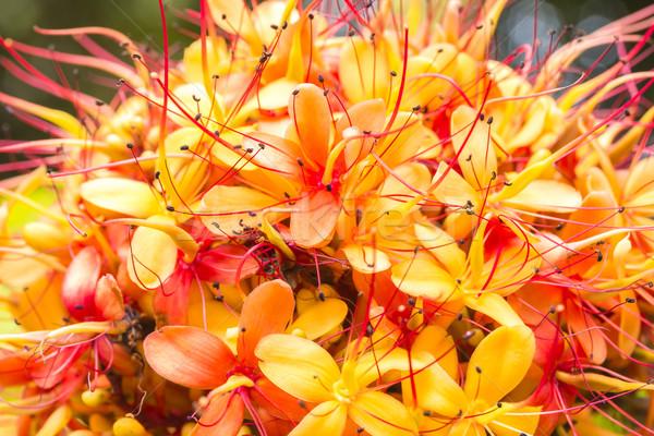 Sorrowless Tree Bloom Stock photo © LAMeeks