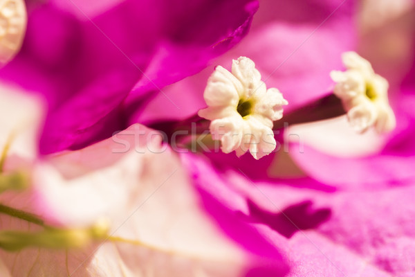 Close-up Bougainvillea bloom Stock photo © LAMeeks