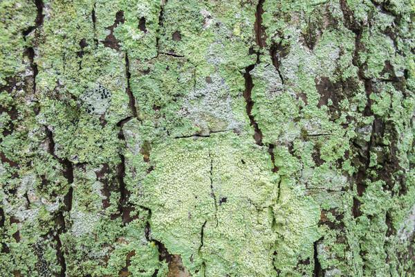Boom mos groeiend boomstam hout Stockfoto © LAMeeks