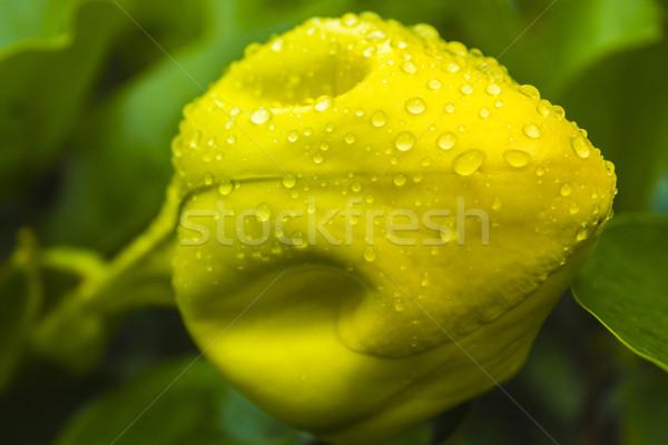 Кубок золото бутон цветок большой желтый Сток-фото © LAMeeks