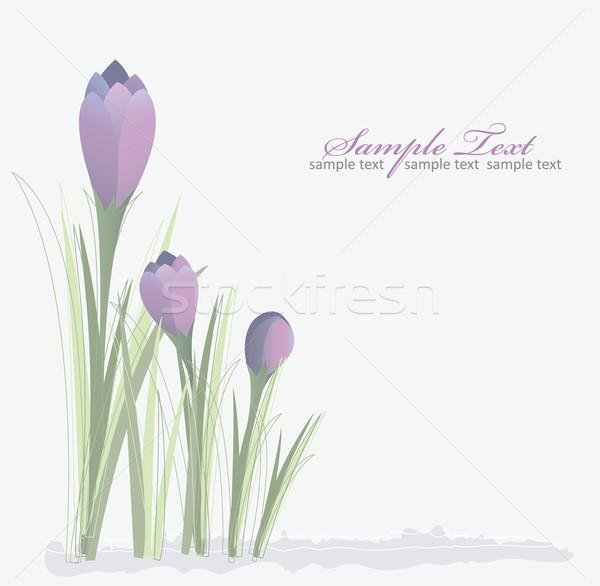 Açafrão primavera floral natureza projeto jardim Foto stock © lapesnape