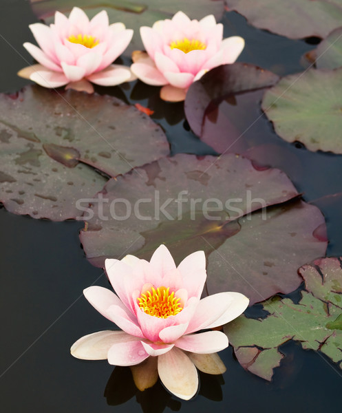 Lilly pond flower Stock photo © ldambies