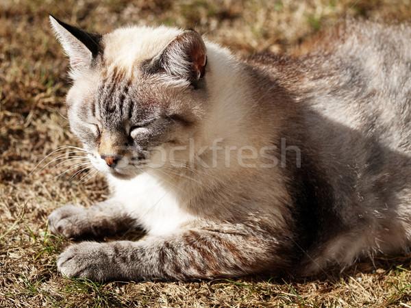 Resting cat Stock photo © ldambies