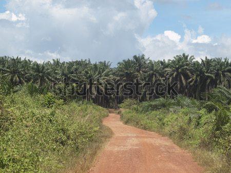 Palma Óleo plantação paisagem árvores pequeno Foto stock © ldambies