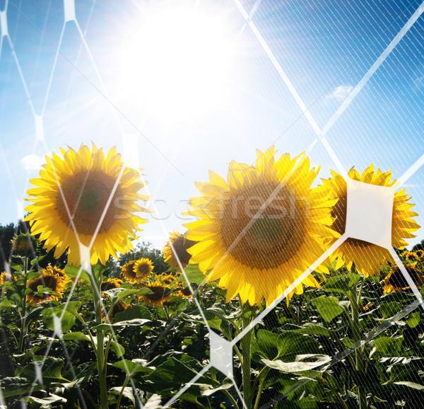 подсолнечника области солнце панель Сток-фото © ldambies