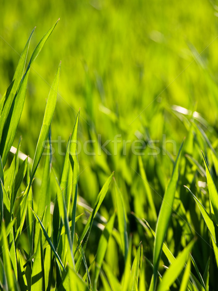Fresco jovem trigo verde campo de trigo Foto stock © ldambies