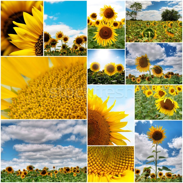 Photo stock: Tournesols · collage · plusieurs · coloré · tournesol · photos