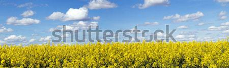 Rapeseed field panoramic landscape Stock photo © ldambies