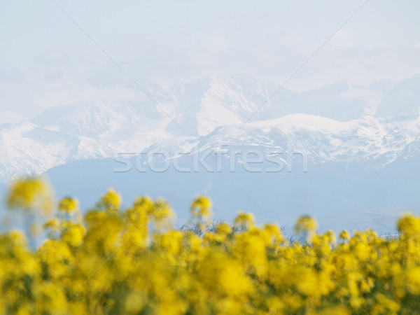 Rapeseed field and mountains Stock photo © ldambies