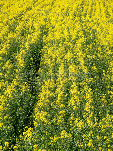Stock photo: Rapeseed field background