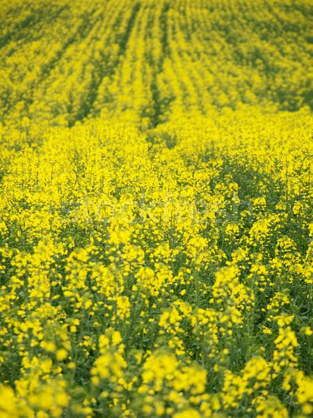 Canola field background Stock photo © ldambies