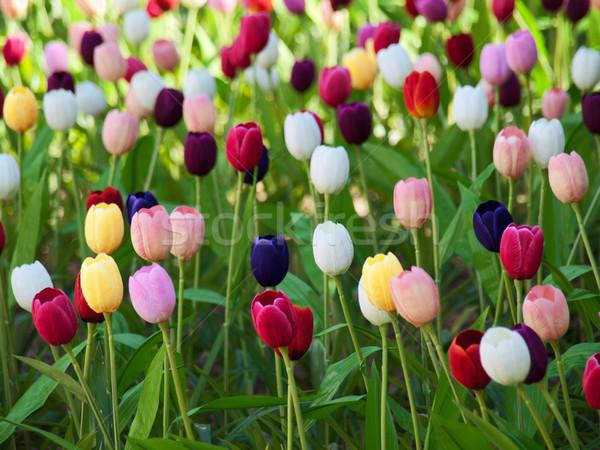 Stock fotó: Mező · tulipánok · gyönyörű · tarka · Hollandia · természet
