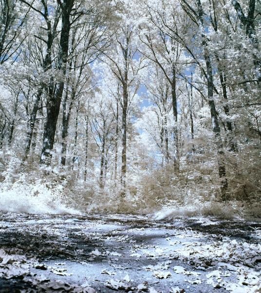 Infravermelho floresta panorâmico quadro folhas terreno Foto stock © ldambies