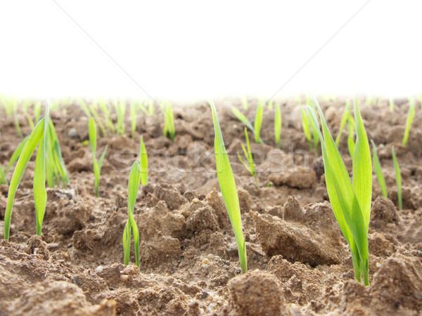 Növekvő fiatal mező búza merő fehér Stock fotó © ldambies