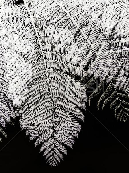 папоротник дерево красивой Малайзия изолированный черный Сток-фото © ldambies