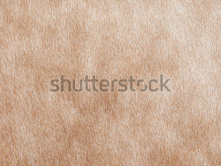 Cow skin background Stock photo © ldambies