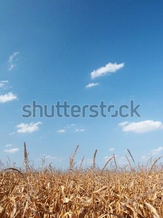 Secar maíz campo cielo azul nubes cielo Foto stock © ldambies