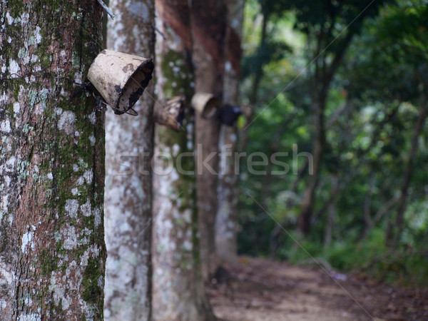 Latex forest Stock photo © ldambies