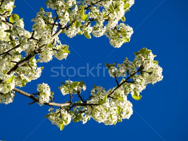 весны дерево Blue Sky облака небе саду Сток-фото © ldambies