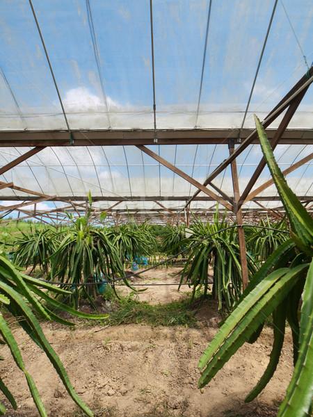 Dragon fruit farm Stock photo © ldambies