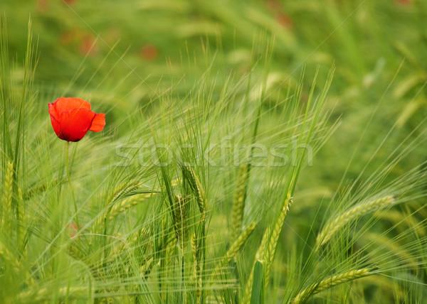 Fresco jovem cevada campo verde Foto stock © ldambies