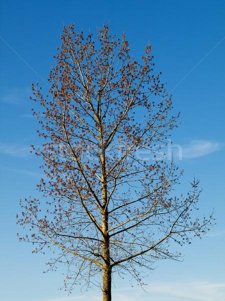 Ağaç güzel mavi gökyüzü doğa mavi Stok fotoğraf © ldambies