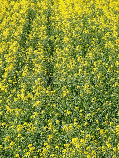 Rapeseed field background Stock photo © ldambies