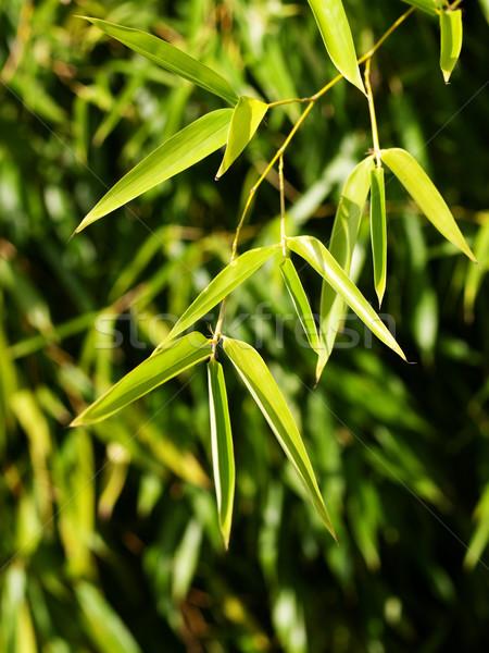 Bambu folhas raso grama madeira floresta Foto stock © ldambies