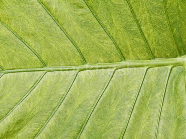 зеленый лист макроса вены дерево зеленый листьев Сток-фото © ldambies
