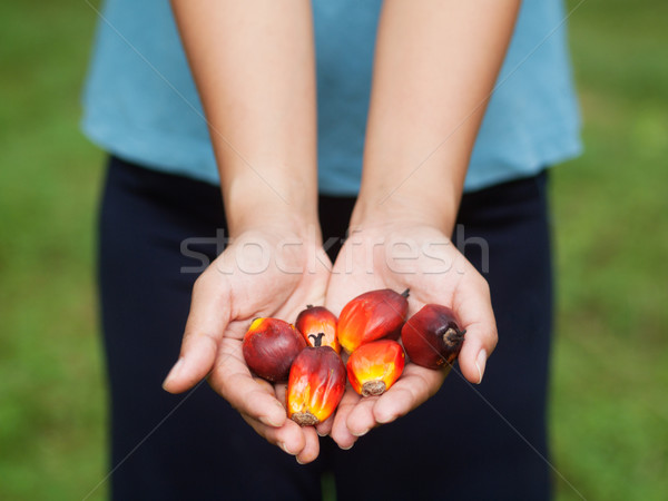 Oil palm fruits Stock photo © ldambies