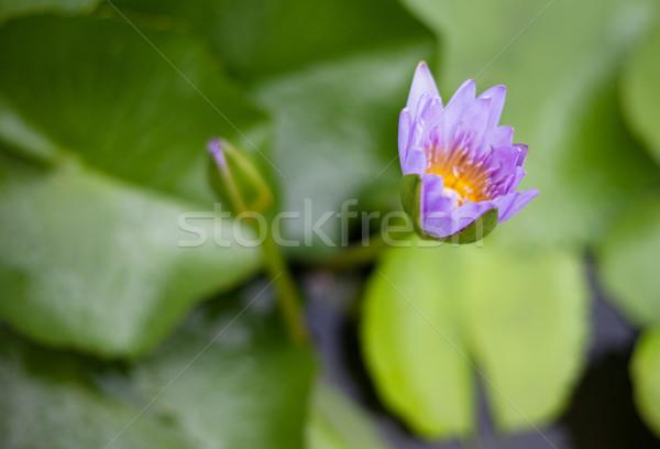 воды Лилия мелкий зеленый листьев жидкость Сток-фото © ldambies