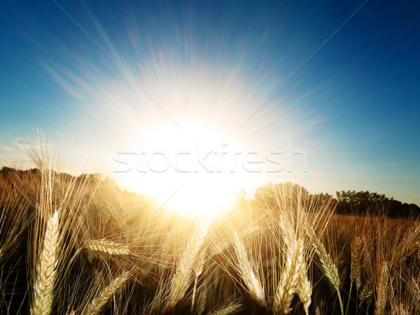 Or été soleil nature paysage Photo stock © ldambies