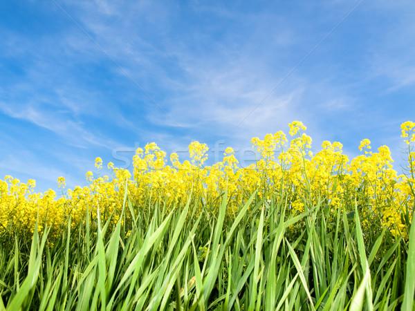 Domaine printemps ciel bleu nuages fleur nature Photo stock © ldambies