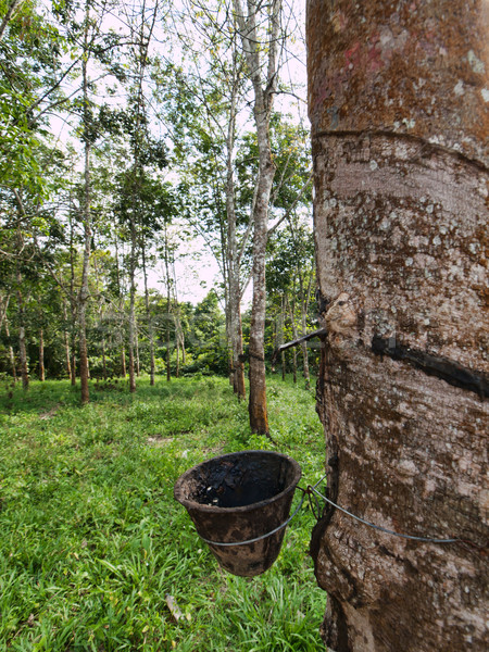 Rubber trees Stock photo © ldambies