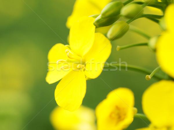 Macro flor Óleo planta agricultura belo Foto stock © ldambies