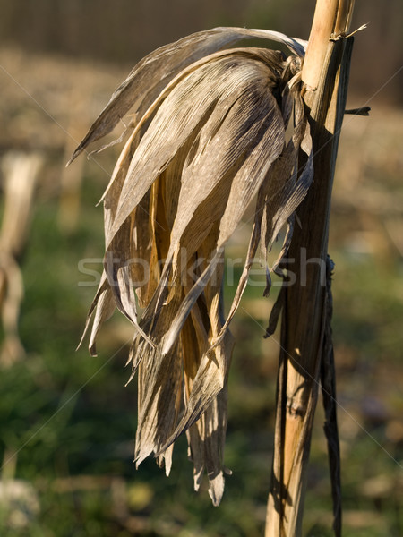 Dry corn stalk Stock photo © ldambies