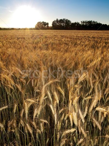Golden wheat field Stock photo © ldambies