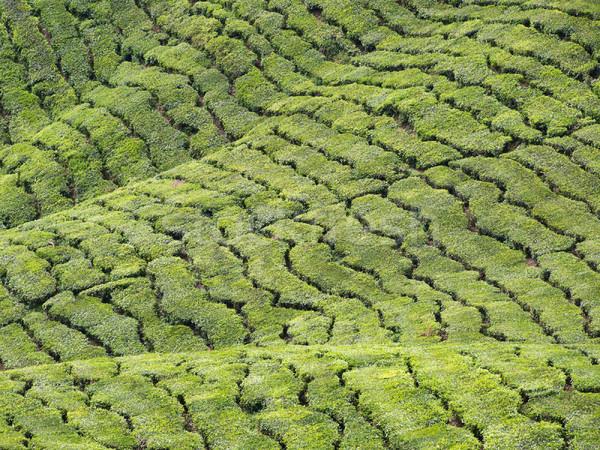 Chá abstrato paisagem Malásia natureza Foto stock © ldambies