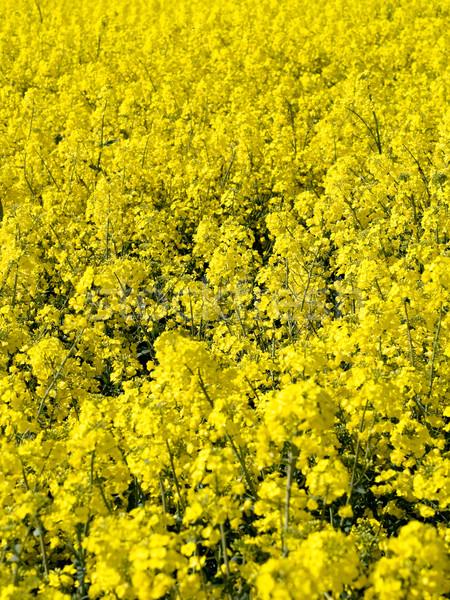 Blooming rapeseed field Stock photo © ldambies