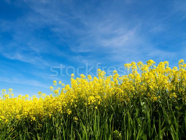 Rapeseed field Stock photo © ldambies