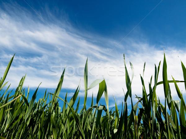 Jeunes printemps ciel bleu nuages nature Photo stock © ldambies