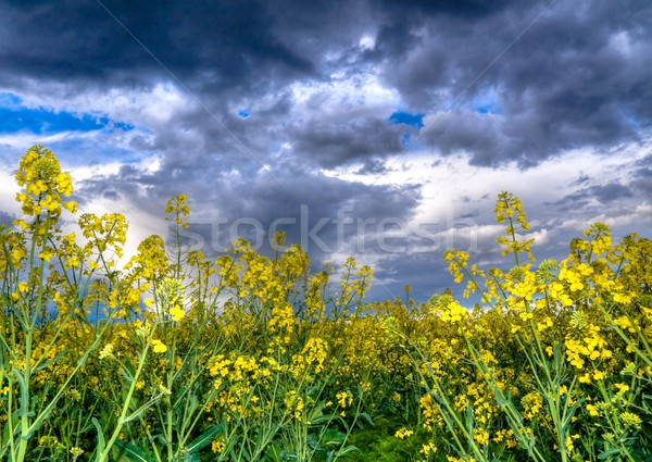 Colza or canola  field Stock photo © ldambies