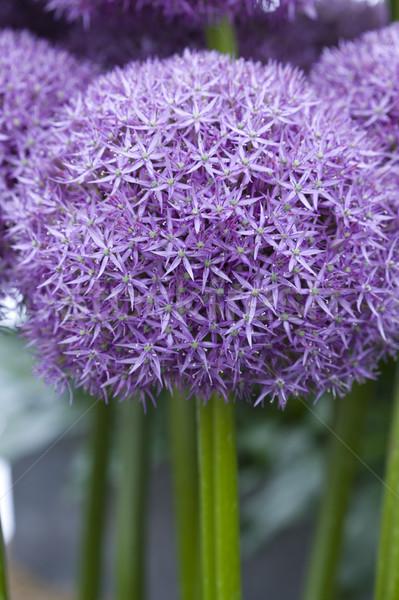 Stock photo: allium flower pinball wizard