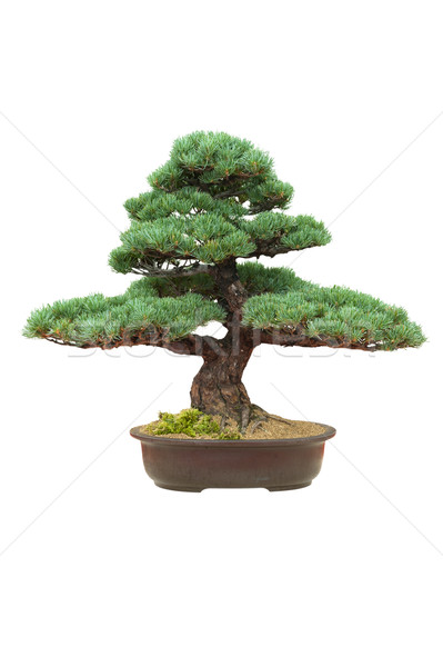 japanese bonsai tree isolated pinus parviflora Stock photo © leeavison