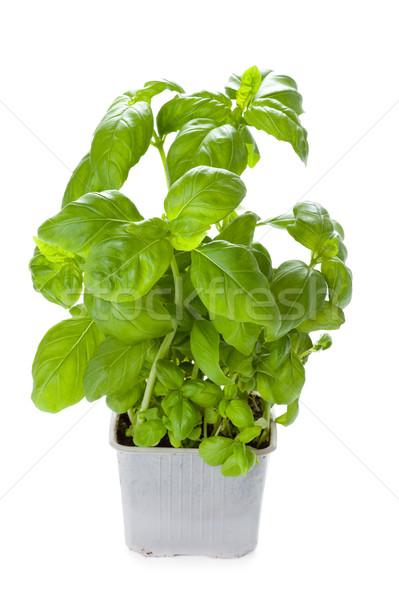 potted basil plant Stock photo © leeavison