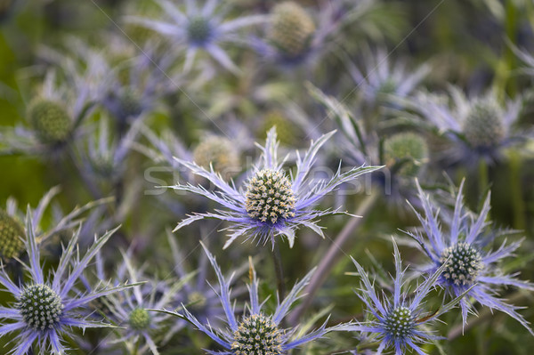 eryngium 'cobalt star' Stock photo © leeavison