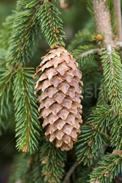 pine cone Stock photo © leeavison