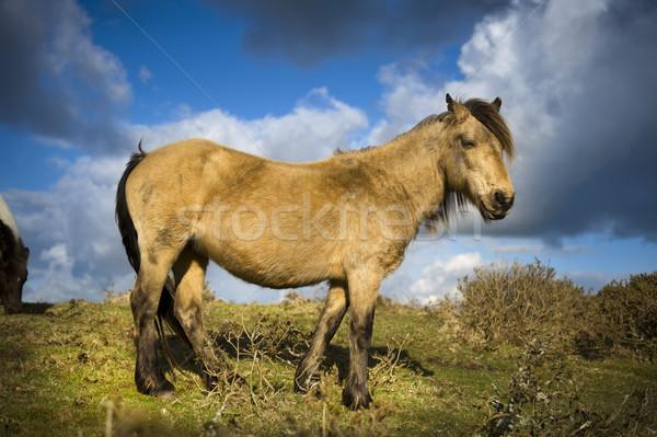 ポニー 馬 動物 無料 屋外 英語 ストックフォト © leeavison